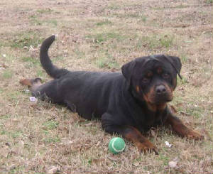 Rottweiler Puppies For Sale In Maine