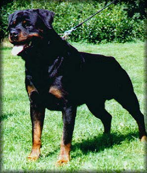 Rottweiler Puppies For Sale In Md Rottweiler In Maryland